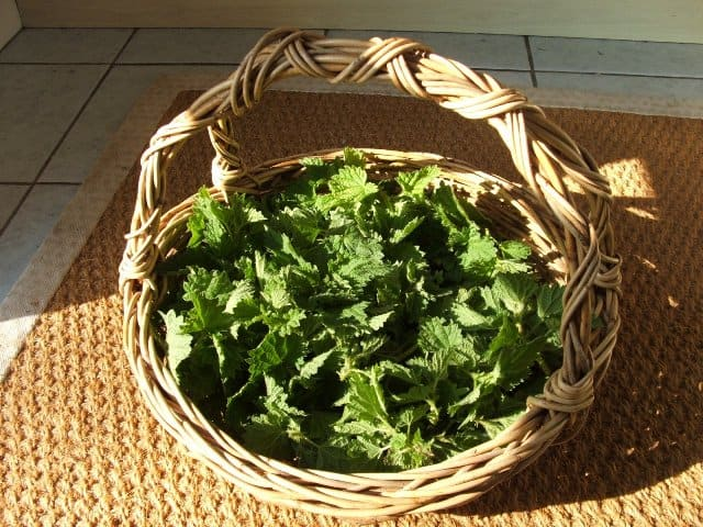 Basket of Stinging Nettles