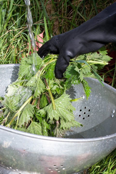 hand in black rubber glove holding a bunch of stinging nettles under a stream of water from a garden tap