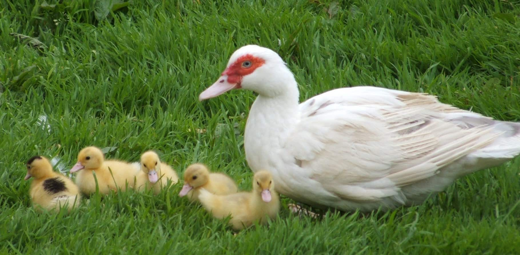 Raising Muscovy Ducks - The Hedgecombers