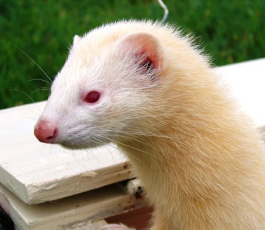 Female ferret