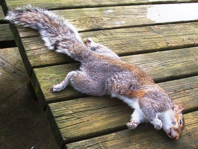 Squirrel Recipe