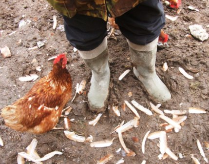 Clipping Chickens Flight Feathers - a chiken ,feet in muddy wellies and lots of  feathers in the mud