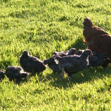 Momma hen & chicks