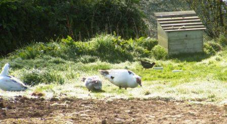 Ducks & Moorhen