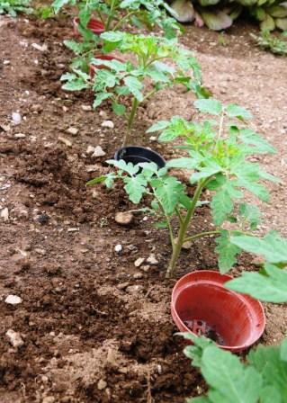 Careful Watering to Minimise Tomato Blight