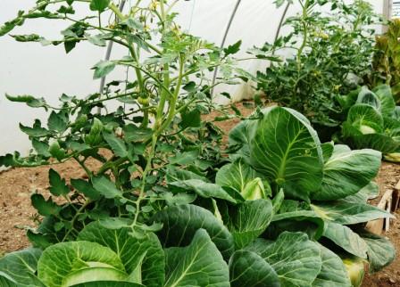 Avoid Overcrowding Tomato Plants to Prevent Blight