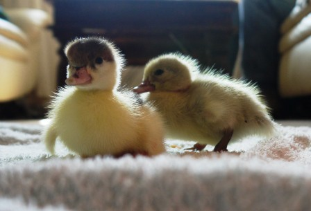 House Ducklings?