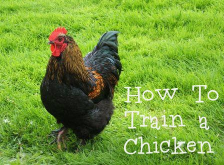 How to train a chicken