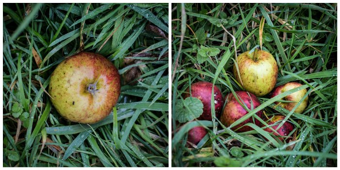 Windfall apples in the wet grass under an old apple tree