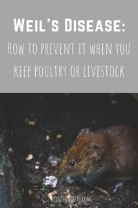 Words 'Wiel's Disease: How to prevent it when you keep poultry or livestock' above a picture of a rat