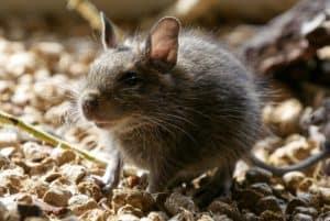 Grey rat stood on gravel