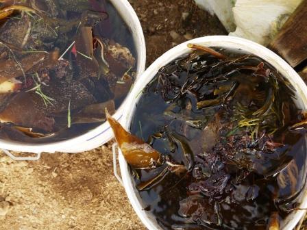 Seaweed Tea Fertiliser