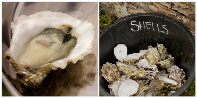 Fal Oysters