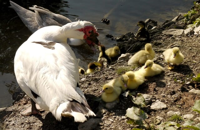 Muscovy Drake and his ducklings