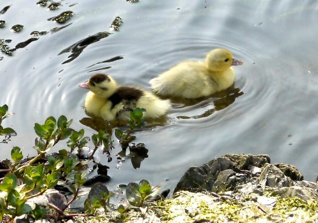 Swimming Ducklings