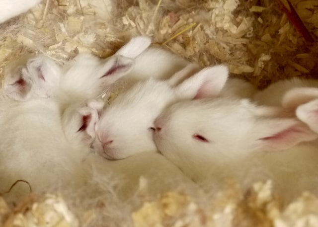 Breeding Rabbits - Newborn to Two Weeks Old