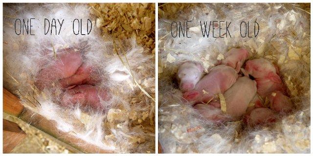 Nest of Newborn Bunnies