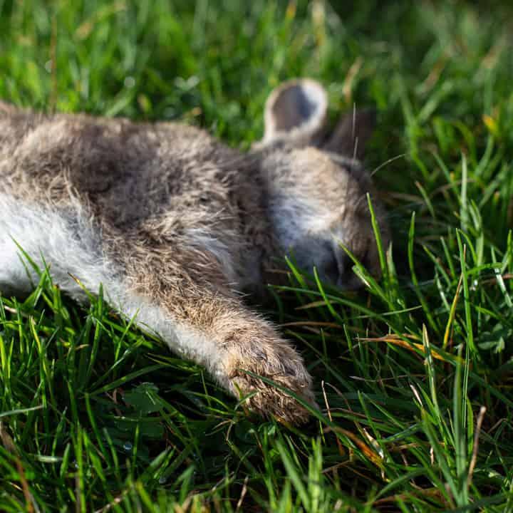 image of fresh wild rabbit on grass