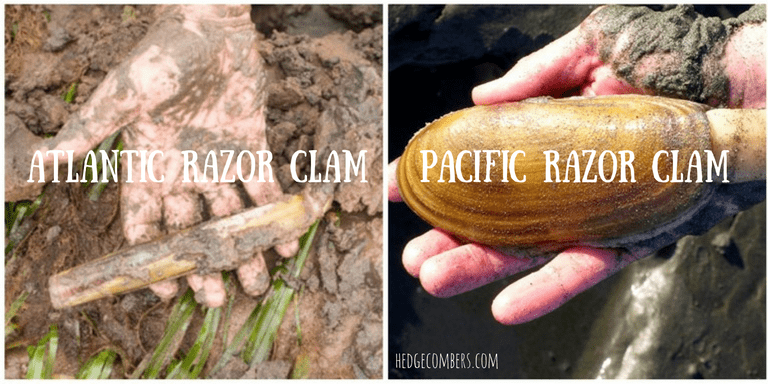 Atlantic razor clam & Pacific razor clam in muddy hands