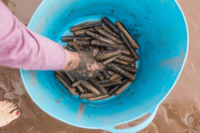 Our Atlantic Razor Clam haul in a blue bucket