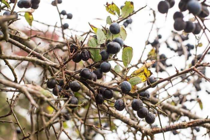 Sloes on the tree