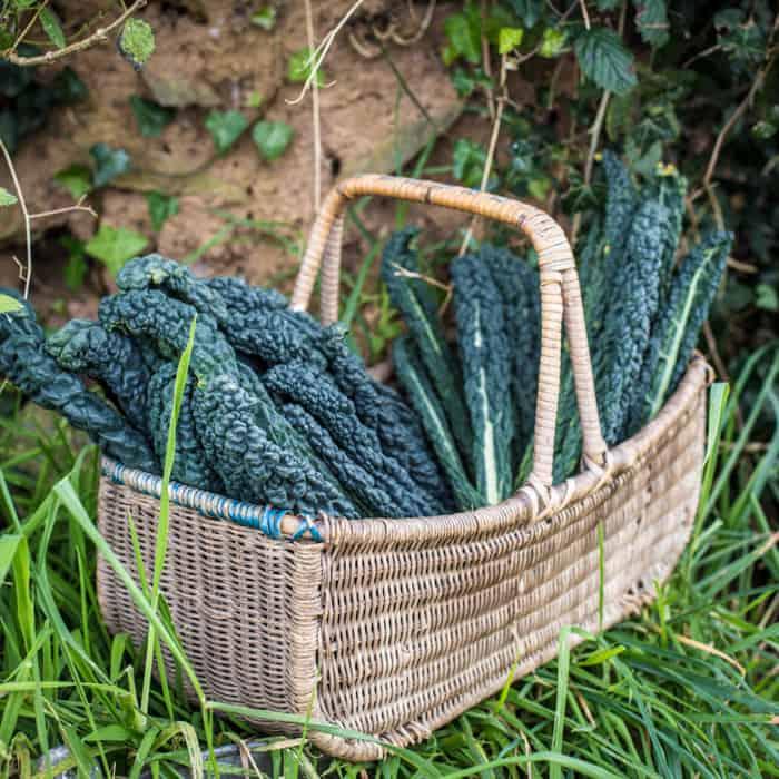 wicker basket of cavolo nero kale leaves stood on grass