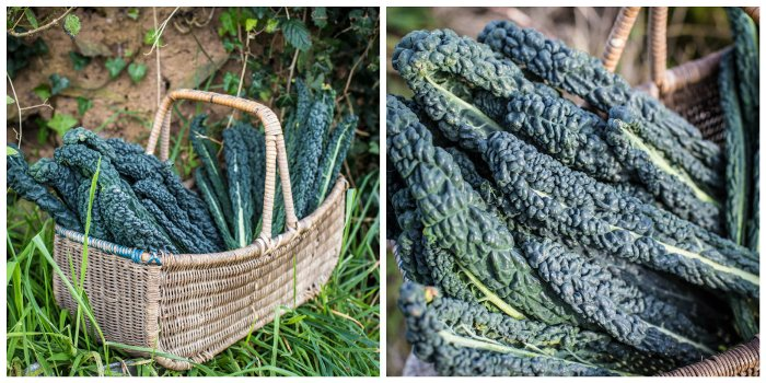 A vintage wicker basket of freshly picked cavolo nero kale leaves
