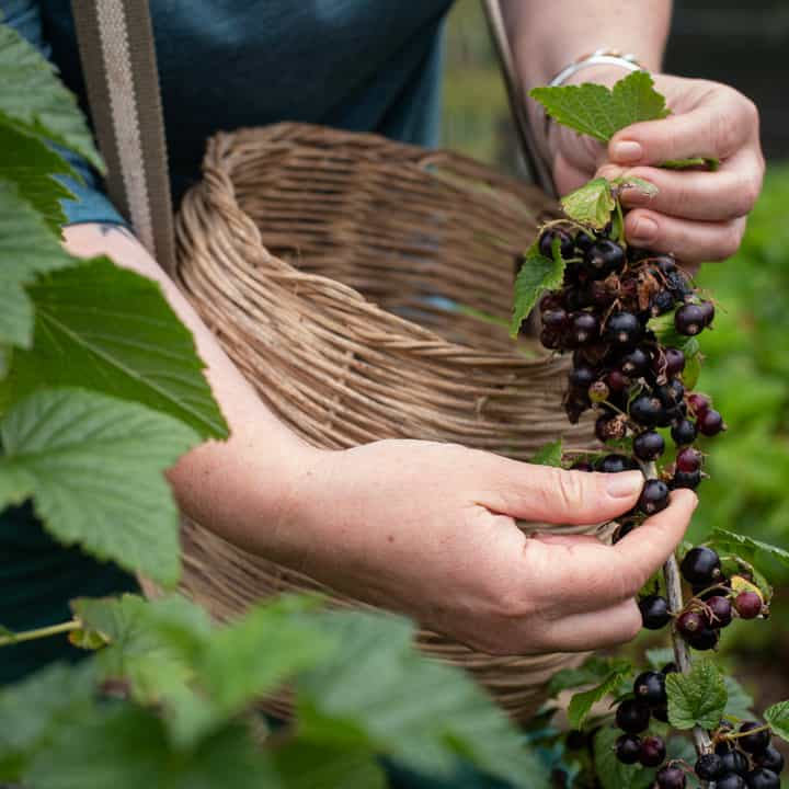 womans hands and wicker basket picking blackcurrants from a blackcurrant bush