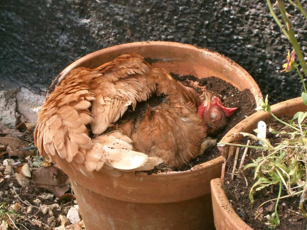 Hen curled up in a flower pot with mud in it