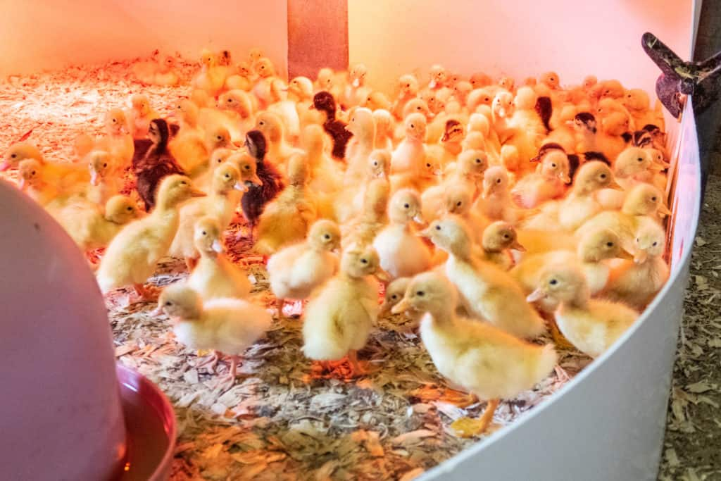 A group of ducklings in a penned off area with woodchips on floor