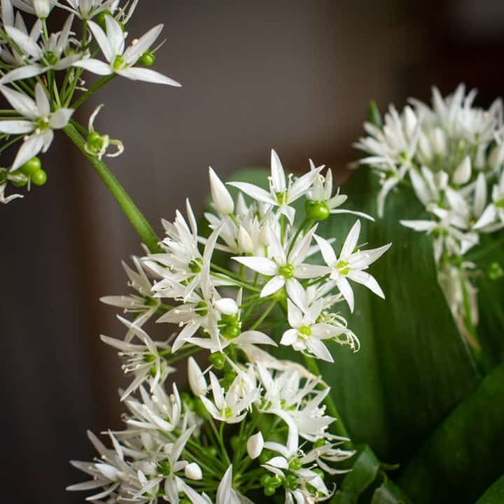 white and green wild garlic flowers against a dark background