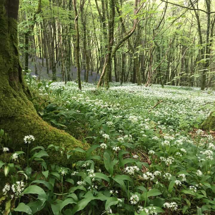 English woodland scene with a green carpet of wild garlic dotted with white wild garlic flower
