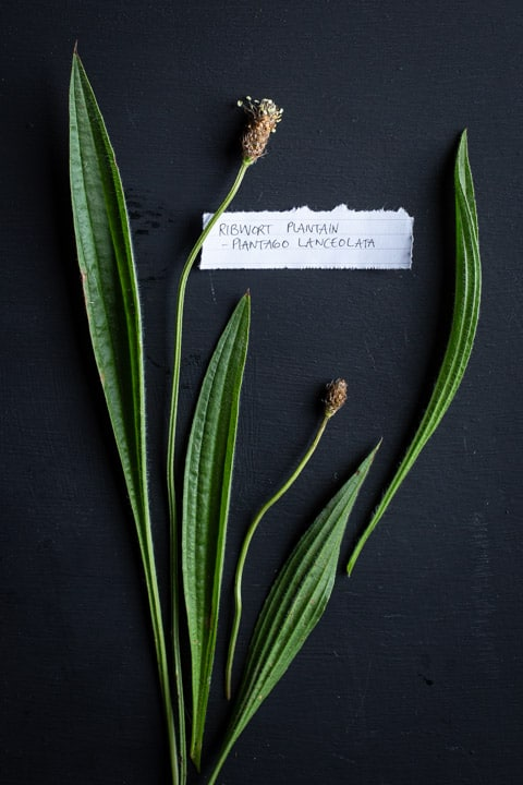 black background with 4 ribwort plantain leaves and 2 flower stems with a white botanical name plate