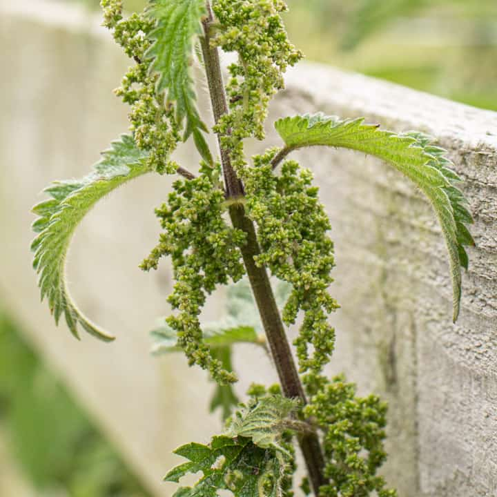 nettle seeds on a stinging nettle plant against a wooden fence