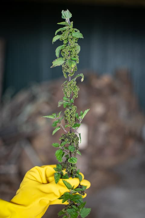 hand in yellow rubber glove holding a stinging nettle