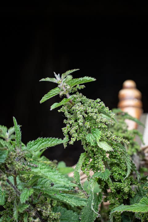 stinging nettle head ripe with seeds